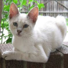 Zander is an adoptable Domestic Medium Hair-White Cat in Rutherfordton, NC. Zander is a white male kitten with blur eyes born on April 1, 2012. The adoption fee is $60. This covers the cost of spay/ne...