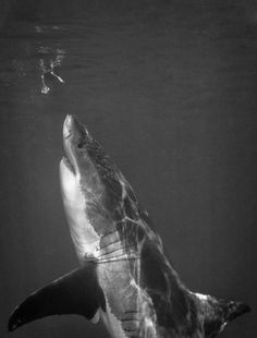 I have a strange fascination with Great White Sharks. I think this photo is super cool because it shows the shark in a calm state yet it is quietly observing his pray from underneath.