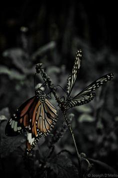 Dragonfly Crafts Gossamer Wings Monarch Butterfly Beautiful Butterflies Dragonflies Moth Reptiles Colour Splash Black Water