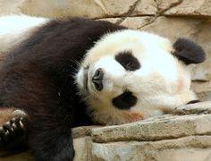 Happy Birthday Baby Pandas | Chicago Public Library