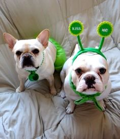 Izzy and Xavier, French Bulldogs on St. Patrick's Day