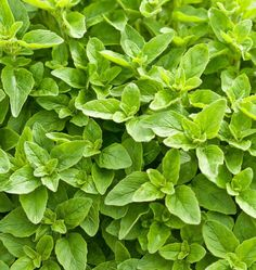 This herb dries well, and retains its strong flavour and aroma stored correctly. Follow this How to Grow Oregano from seeds Guide. Grow some great flavour.