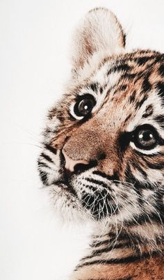 Sweet little tiger funny animals, cute baby animals, animals and pets, cute c Cute Creatures, Beautiful Creatures, Beautiful Cats, Animals Beautiful, Majestic Animals, Beautiful Pictures, Animals And Pets, Funny Animals, Big Animals