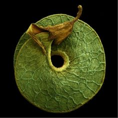 medicago seed pod [Rob Kesseler]