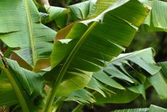 Wind torn leaves of musa sikkimensis