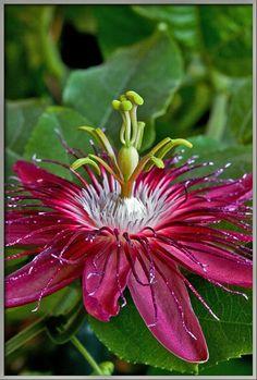"Passionflower ""Lady Margaret"" (Passiflora coccinea x incarnata)"