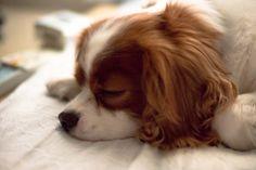 キャバリア・キング・チャールズ・スパニエルの投稿写真ギャラリー|犬(いぬ)の写真投稿|Fotopus|オリンパス