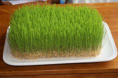 Grow decorative wheat or lentil grass without dirt.