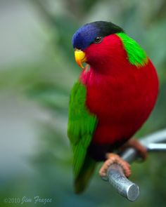 Collared Lory