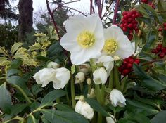 Our Favorite Hellebores....blooms all winter!