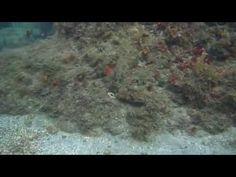 Amazing octopus camoflage - YouTube