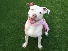 HAZEL - A1117051 - - Manhattan  TO BE DESTROYED 07/07/17 A volunteer writes: An energetic beauty with a smile so bright she could be a toothpaste spokesdog, Hazel isn't just bursting onto the scene, she IS the scene, and this fresh and funny gal's ready to rock her way into your heart today! It's impossible to be bored with Hazel around. She's a non-stop party pup who can't get enough of toys and happily grins her way through fetching a ball, f