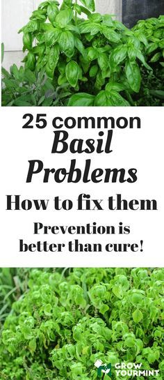 25 common basil problems and how to fix them #gardens#organic#basil#growyourmint.com
