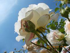 Rózsa 7