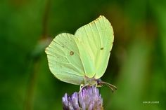 Common Brimstone, Gonepteryx Rhamni, Saturday, 22nd August 2015, Romerike, Norge.