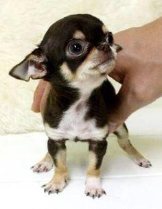 "*""hold me back""!  xo #chihuahua"