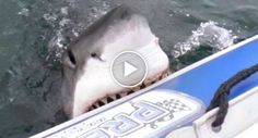 Enorme Tubarão Branco Ataca Barco Insuflável Cheio De Turistas