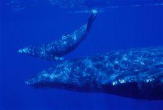 Hawaii humpback whale & calf nr surface side view, closeup (Megaptera novaeangliae )