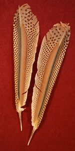 Argus Pheasant Feathers | Classic Salmon Fly Tying Materials | Fly Tying Feathers
