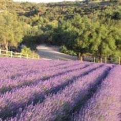 Keyscreek lavender farm in escondido, california