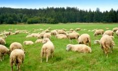 Pacific Southwest Sheep Forage Blend