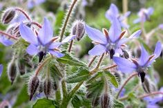Borage (Borago officinalis) also known as Starflower - one of the edible plants in the garden