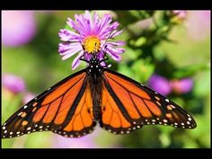 Butterfly documentary The Incredible Journey of the Monarch Butterflies english subtitles - YouTube