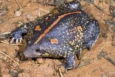 Rhinophrynus dorsalis Mexican Burrowing Toads are the most evolutionarily distinct amphibians in the entire world. Ugly Animals, Zoo Animals, Animals And Pets, Ugliest Animals, Reptiles And Amphibians, Mammals, What Are Frogs, Amazing Frog, Funny Frogs