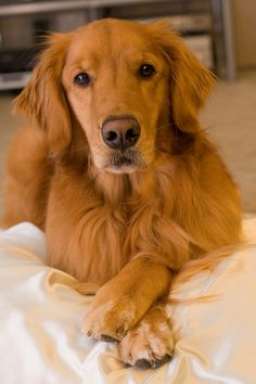 I cross my heart :) What a love face! Golden Retrievers are proven to be one of the best service/companion dogs...so sweet