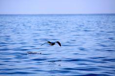 Seagull over glassy ocean
