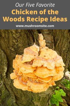 Chicken of the woods mushrooms have a wonderful subtle flavor like. Read on for our five best chicken of the woods recipe ideas. Mushroom Dish, Mushroom Chicken, Mushroom Recipes, Edible Wild Mushrooms, Stuffed Mushrooms, Chicken Of The Woods, Marinated Mushrooms, Edible Wild Plants, Wild Game Recipes