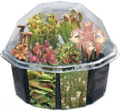 Meat Eating Plant Kit: Bugs suck. Make them suck a little less by watching them succumb to their doom at the hands of a seemingly harmless plant. This flesh eating terrarium is comprised of seven different carnivorous plants. Think of it as a Jurassic Park of sorts but ...Read More @ http://greateststuffonearth.com/?p=1297