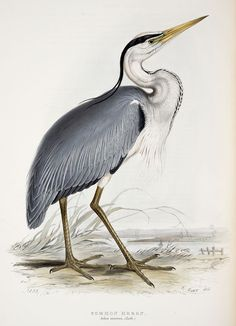 A few days ago I received an email from a reader. She was after a large-scale bird printable to partner the Heron I currently offer. I do already provide a second bird to compliment the Heron Vogel Illustration, Vintage Bird Illustration, Nature Illustration, Images Victoriennes, Sibylla Merian, Origin Of Species, Historia Natural, Bird Free, Crane Bird