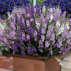 Serena® Purple Angelonia Seeds from Park Seed