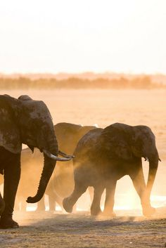 African elephant (Loxodonta africana). The biggest of the Big Five – indeed the biggest land animal on the planet – needs little introduction...