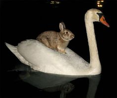 cygne et lapin. A mute swan takes a wild rabbit for a ride Funny Bunnies, Cute Funny Animals, Cute Bunny, Bunny Rabbit, Bunny Puns, Wild Rabbit, Beautiful Creatures, Animals Beautiful, Animals And Pets