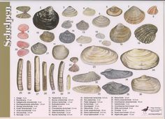 Recognition card for Shells (Jasper de Ruiter)