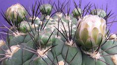 Gymnocalycium saglionis