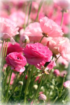 All sizes | Pink Ranunculus | Flickr - Photo Sharing!