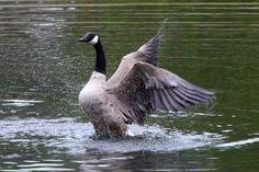 Goose vs eagle 1
