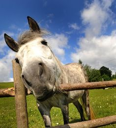 Study Confirms Horses 'Talk' to Human Handlers -- New research by European scientists has revealed that horses do, in fact, try to intentionally communicate with us to achieve certain goals. Animal Cognition, Horseback Riding Tips, Horse Information, Horse Care Tips, Horse Training, Horse Pictures, Horse Love, Beautiful Horses, Pretty Horses