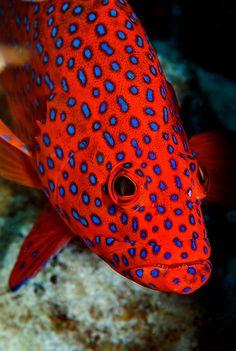 anim, polka dots, red, fish, coco keel, sea, karen willshaw, bright colors, island