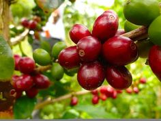 Biji kopi pilihan dari dataran tinggi Gayo