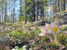 Pulsatilla vernalis - kangasvuokko, protected, one of the most rare flowers in Finland
