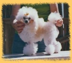 Toy Poodle Haircuts | The Miniature Poodle which is the middle size Poodle, can grow between ...