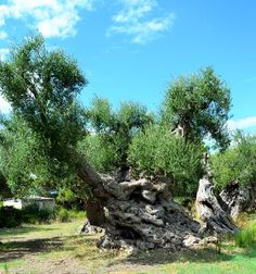 Questi ulivi millenari custodiscono l'immensa forza della natura in viaggio tra storia e struggente bellezza che inizia da Masseria Amastuola a Crispiano Scopri di più: http://www.madeintaranto.org/ulivi-millenari-taranto-giganti-della-storia-crispiano-manduria/