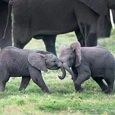 How it is possible to be so cute. .? From : @elephilia -  Baby elephants playing with love  . . For info about promoting your elephant  art or crafts send me a direct message @elephant.gifts or email elephantgifts@outlook.com  . Follow @elephant.gifts for beautiful and inspiring elephant  images and videos every day! . #elephant #elephants #elephantlove