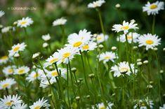 Margaréta Daisy Field, Fields, Grass, Home And Garden, Herbs, Gardening, Flowers, Plants, Grasses
