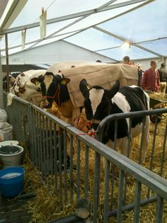Koeienmarkt in woerden