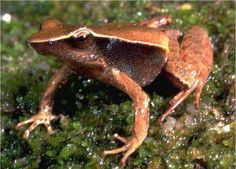 Sharp-snouted Day Frog (Taudactylus acutirostris)
